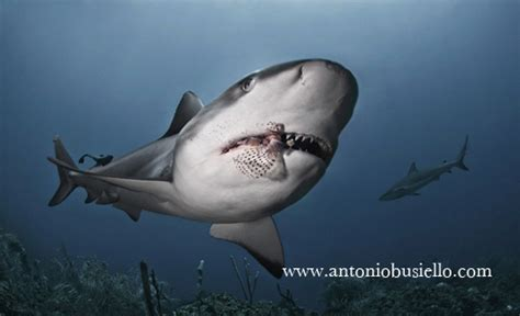 Inside Look Photos: Training Sharks to Eat Lionfish