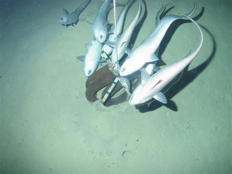 New fish discovered in one of deepest points on Earth